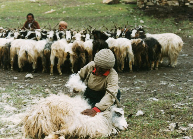 Plucking cashmere from a Changthang goat